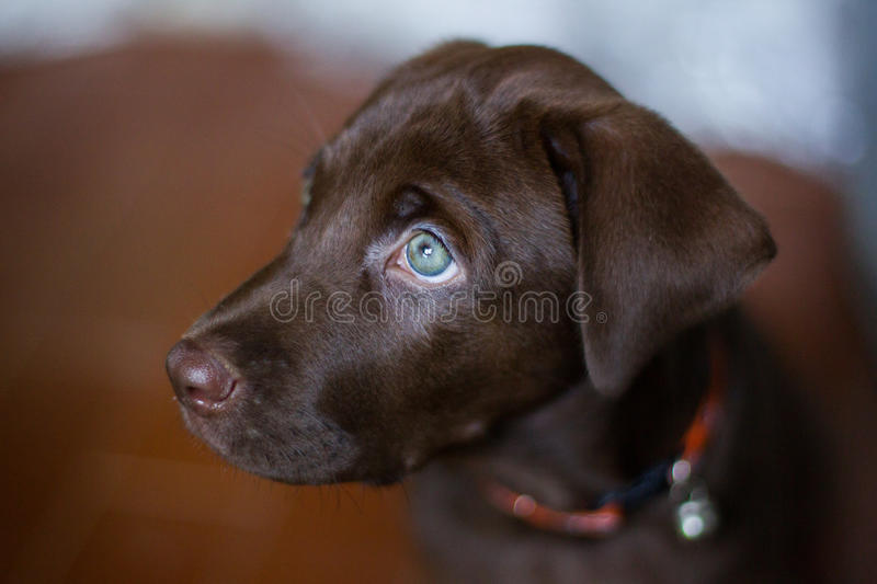 Cute puppy Chocolate labrador Green eye sitting blur background. Thailand royalty free stock images