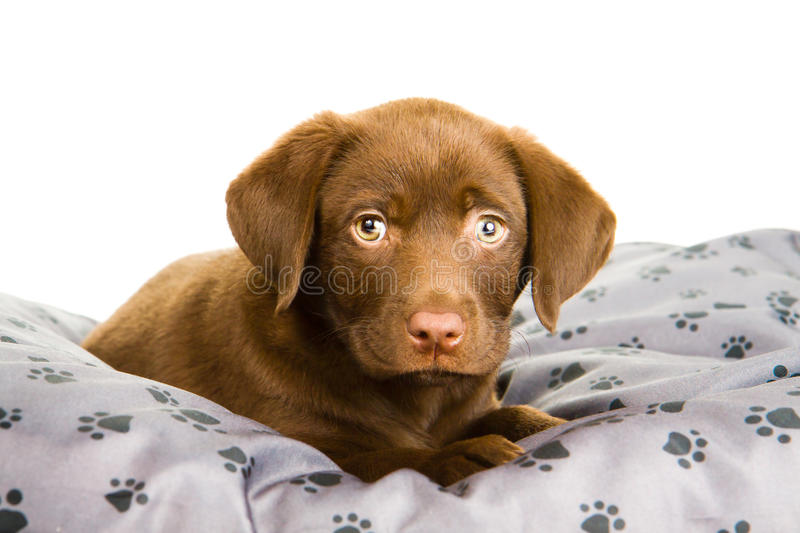 Cute puppy chocolate labrador on a grey pillow. With paw print. The dog is tired and wants to sleep stock photos