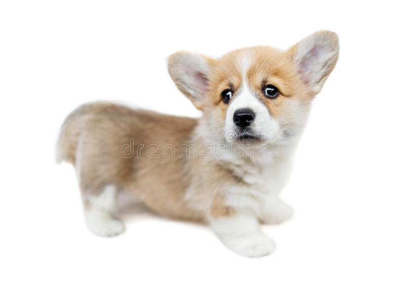 Cute Puppy Corgi Pembroke looking up. Beautiful Small Welsh pu. Ppy dog isolated on white background stock images