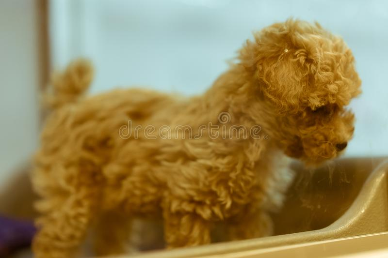 Cute puppy on display at a pet store. Taken at a popular pet store in Shibuya district, Tokyo, Japan royalty free stock image