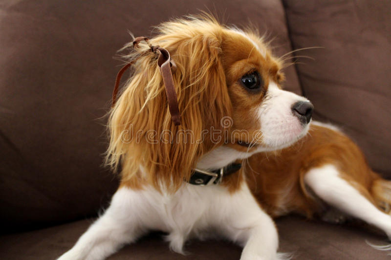 Most Inspiring Charles Spaniel Brown Adorable Dog - cute-puppy-dog-cavalier-king-charles-spaniel-profile-ribbon-her-hair-64341679  Collection_11438  .jpg