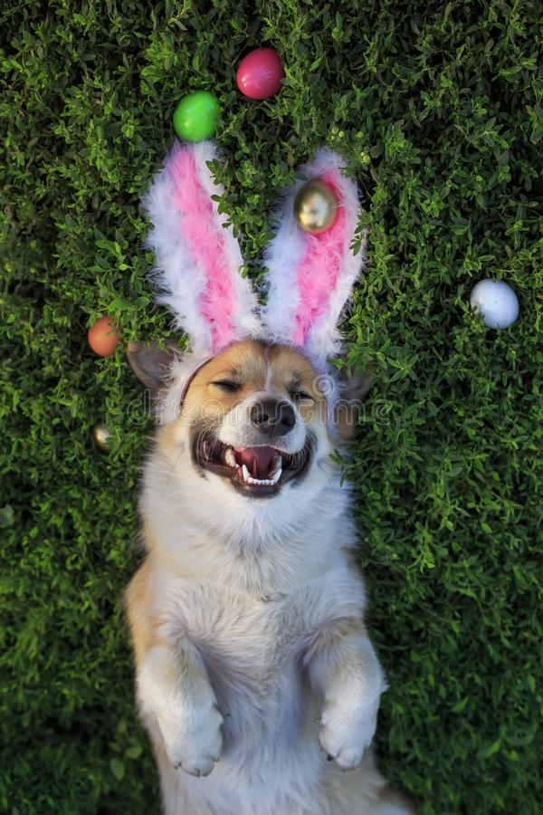 Cute puppy dog Corgi lies in the green grass in the pink ears surrounded by colorful Easter eggs. Puppy dog Corgi lies in the green grass in the pink ears royalty free stock photos