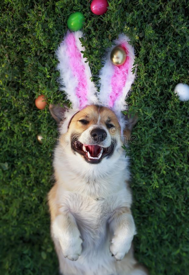 Portrait of a cute puppy dog Corgi lying in the green grass in the pink ears surrounded by colorful Easter eggs and pretty smiles. Cute puppy dog Corgi lying in royalty free stock photo