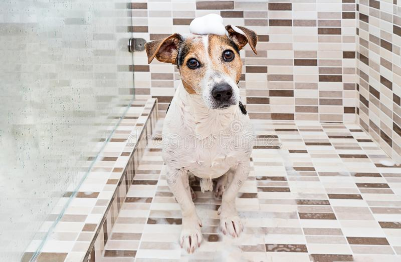 Cute puppy dog with foam on head in shower stock photo