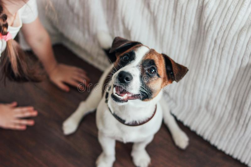 Cute Puppy Dog Jack Russell terrier looking at camera with little girl& x27;s hand in bedroom. Home baby child white young one brown animal domestic mammal royalty free stock photo