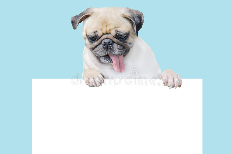 Download Cute Puppy Dog Pug Above Banner Look Down With Copy Scape For Label On Blue Background, Mockup Template For Gift Certificate Stock Image - Image of doubt, billboard: 68561669