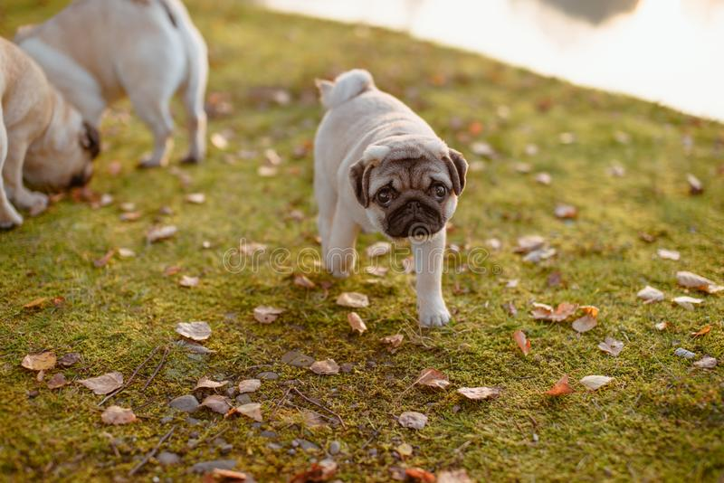 A cute puppy dog, pug is walking away from its parents, looking up to the camera with a sad face, on green grass and autumn leaves. A puppy pug is walking away stock photo