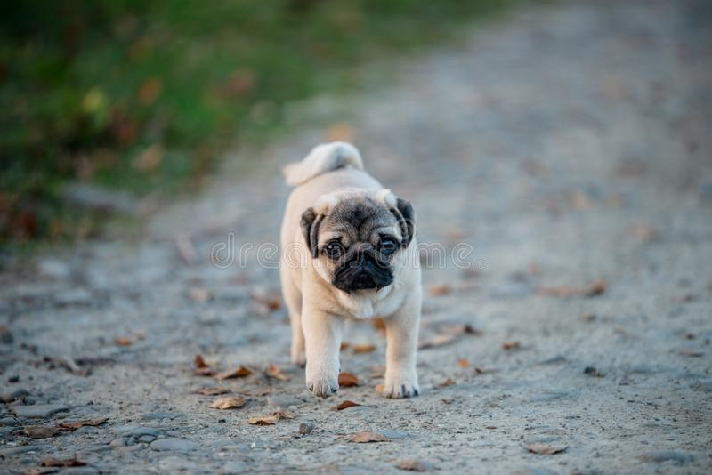 A cute puppy dog, pug is walking through a path in a park with a sad face. A puppy pug is walking on a path looking looking straight to the camera, with a sad stock photography