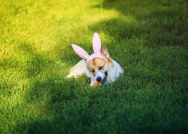 Puppy dog red Corgi lying on the green grass in the ears of Easter Bunny and nibbles a carrot on a Sunny spring day. Cute puppy dog red Corgi lying on the green royalty free stock image