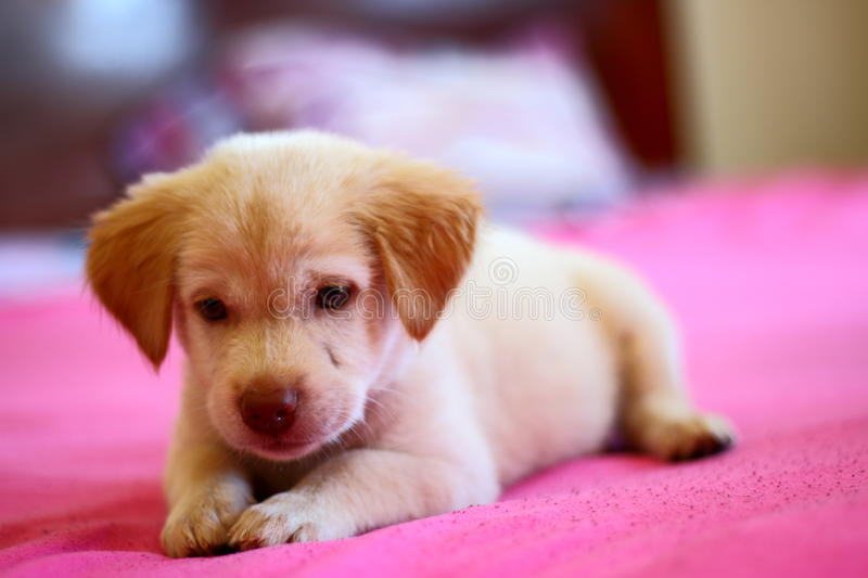 Cute puppy dog resting on the bed royalty free stock photography