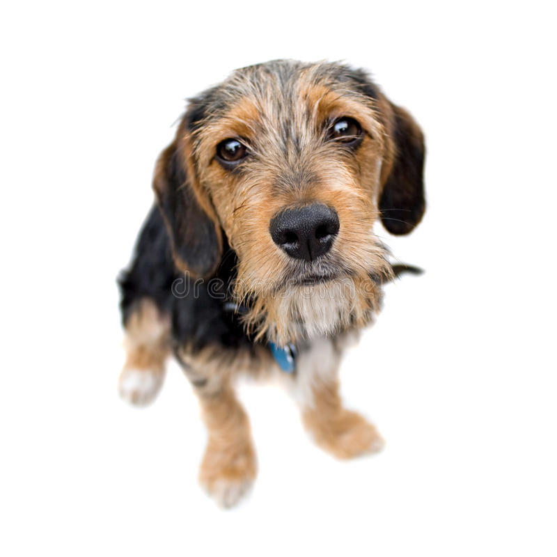 Download Cute Puppy Dog Sitting stock photo. Image of collar, mammal - 10447216