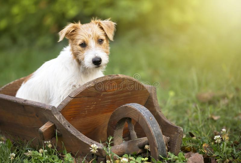 Cute puppy dog sitting in the garden. Cute smart jack russell pet puppy dog sitting in the garden in a wooden barrow stock photo