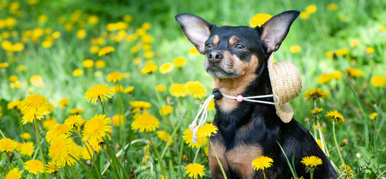 Cute puppy, dog in spring yellow colors on a flowered meadow, portrait of a dog. royalty free stock photos