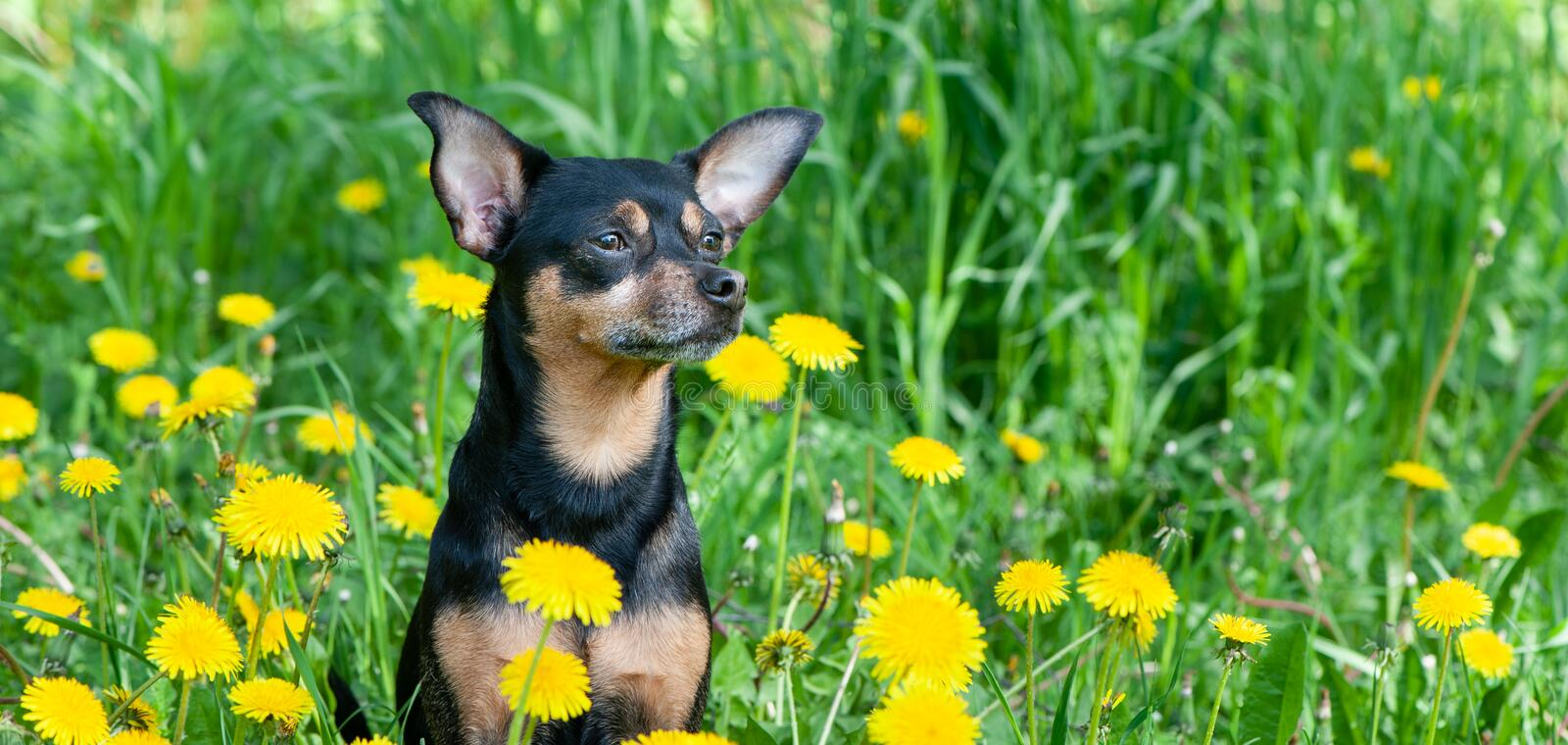 Cute puppy, dog in spring yellow colors on a flowered meadow, portrait of a dog. Spring summer stock photos