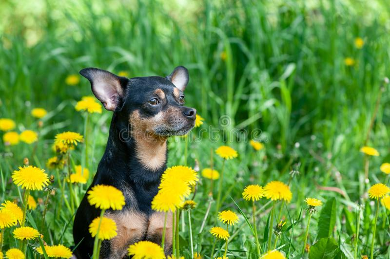 Cute puppy, dog in spring yellow colors on a flowered meadow, portrait of a dog. royalty free stock image