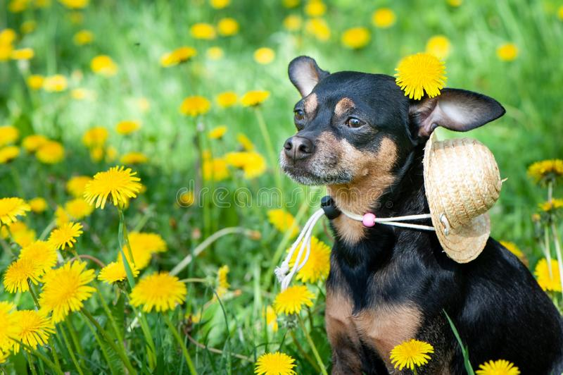 Cute puppy, dog in spring yellow colors on a flowered meadow, portrait of a dog. stock photo