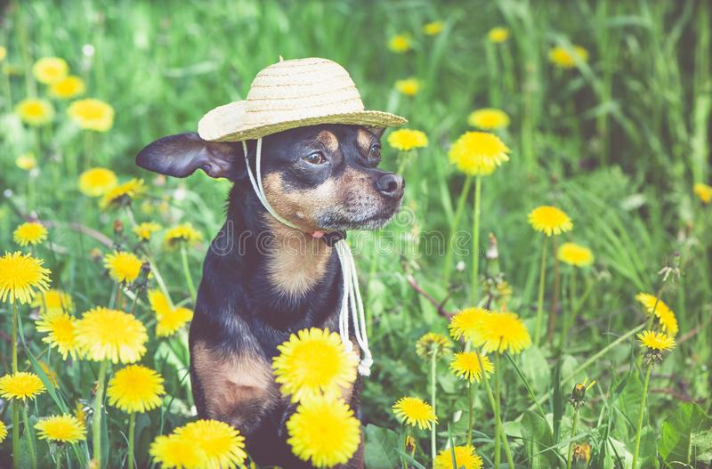 Cute puppy, dog in a straw hat surrounded by spring yellow colors on a flowered meadow, portrait of a dog. Spring summer. Theme stock images