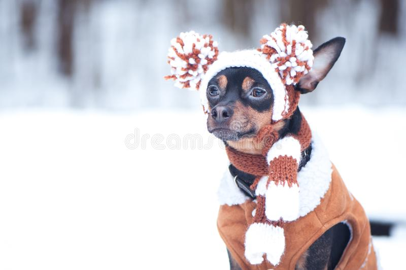Cute puppy, dog, toy terrier in scarf, portrait macro, new year, christmas. There is a white fluffy snow. Christmas card, winter royalty free stock images