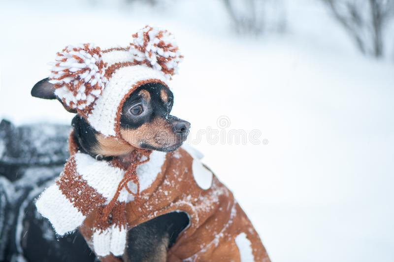 Cute puppy, dog, toy terrier in scarf, portrait macro, new year, christmas. There is a white fluffy snow. Christmas card, winter royalty free stock photos