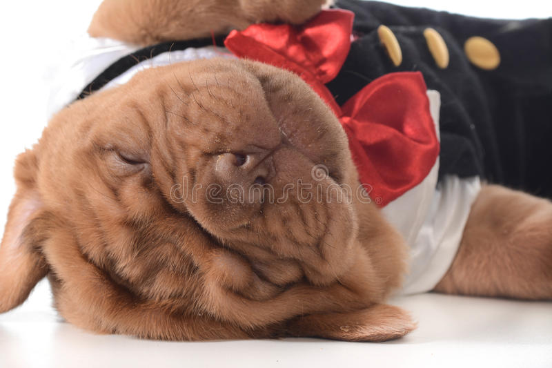 Cute puppy royalty free stock images