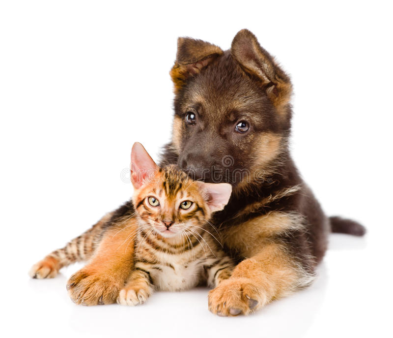Cute puppy embracing little kitten. isolated on white background royalty free stock photo