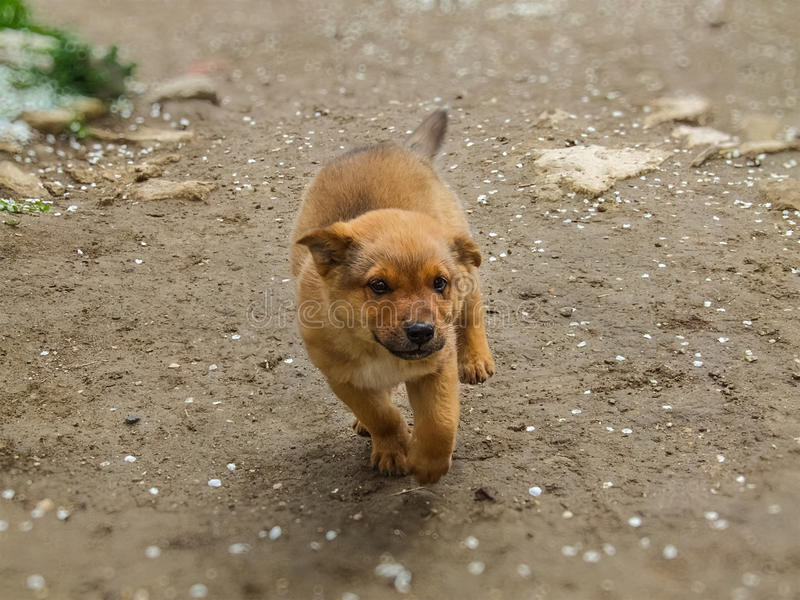 Cute puppy happily running in anticipation of hugs stock photography
