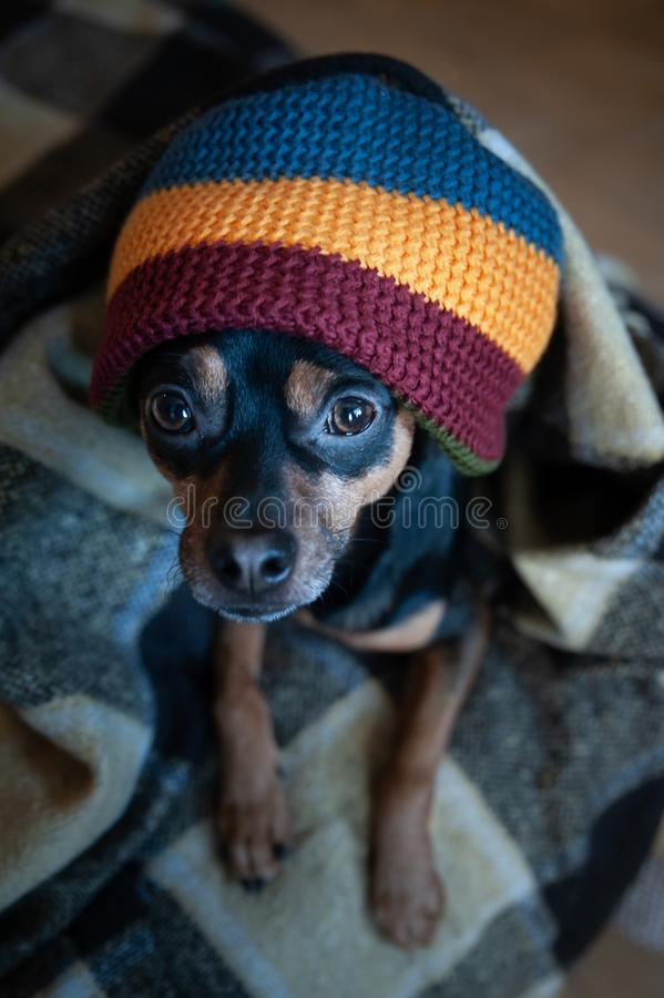Cute puppy in a hat and blanket in the house. royalty free stock photos