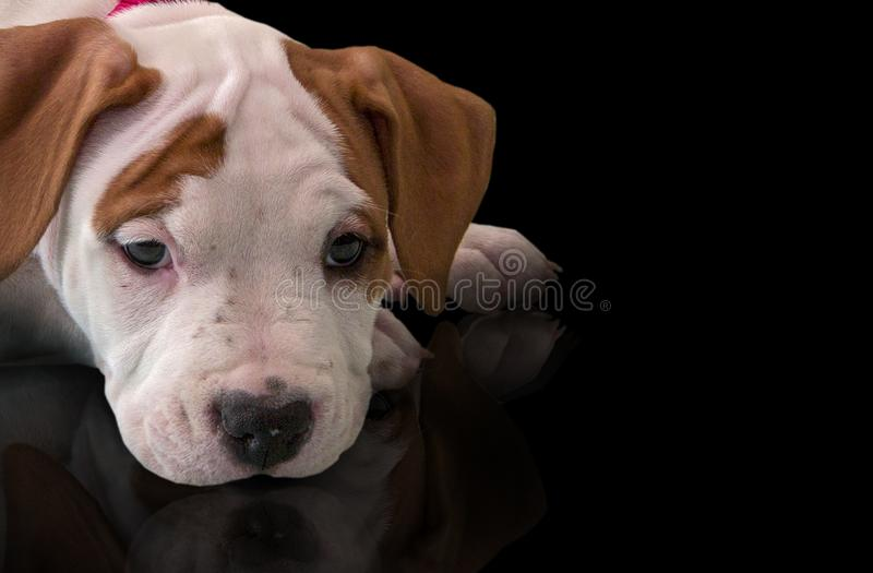 Portrait cute puppy American Staffordshire Terrier, close-up, side view, looking at camera, isolated on black background stock photography