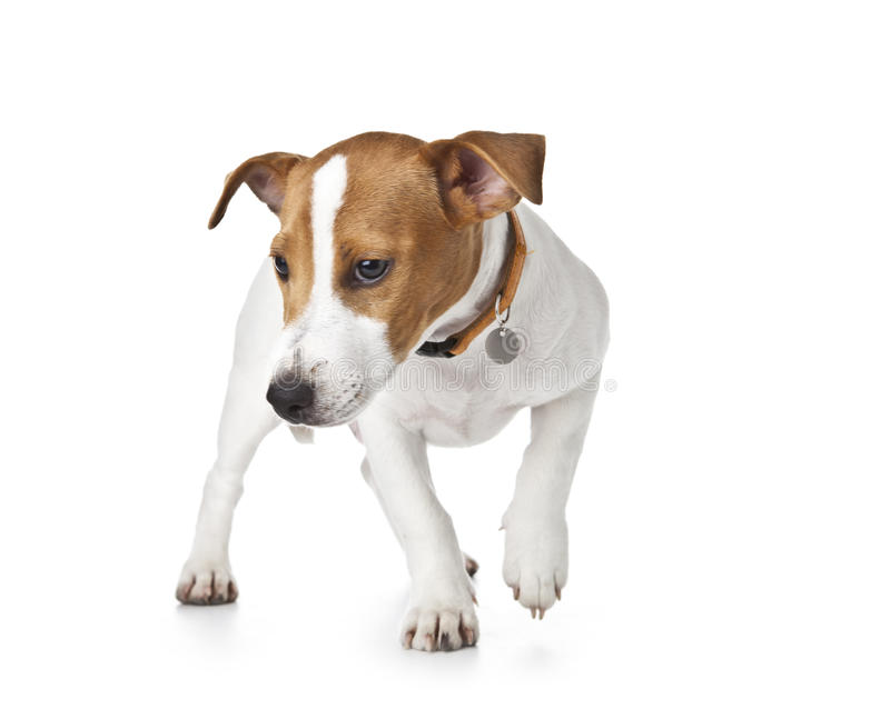 Download Cute Puppy Jack Russell Royalty Free Stock Photography - Image: 26657087