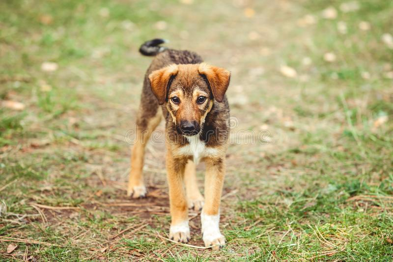 Cute puppy on lawn. Waving his tail and looking at camera royalty free stock photo