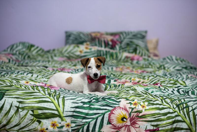 Cute puppy laying on the bed with kitty bow tie on stock photography