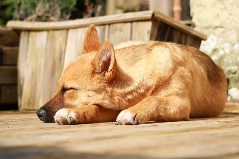 Baby Amstaff dog sleeping on a wooden deck. Cute puppy with light brown hair in the sun royalty free stock photo