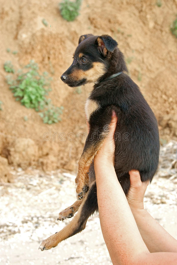 Puppy in hands royalty free stock photography