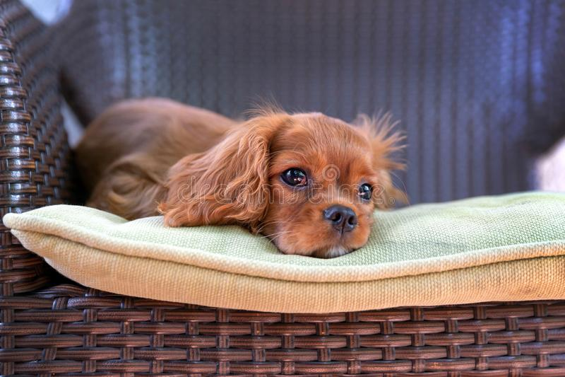 Cute puppy lying on the chair stock images