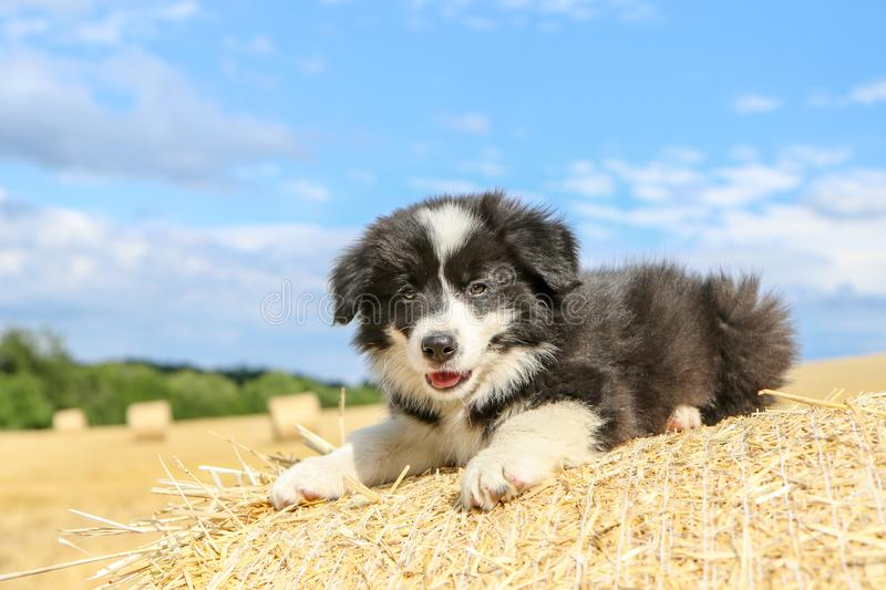 Cute puppy is lying on the hay bale. A cute puppy is lying on the hay bale and smiling during the hot summer day stock photos
