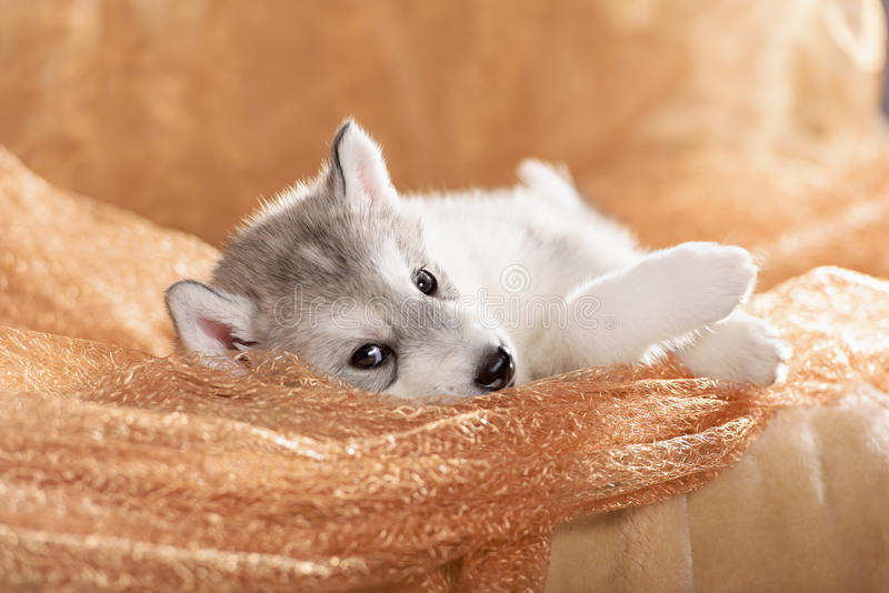 Cute puppy lying on its side. Cute siberian husky puppy lying on its side royalty free stock image