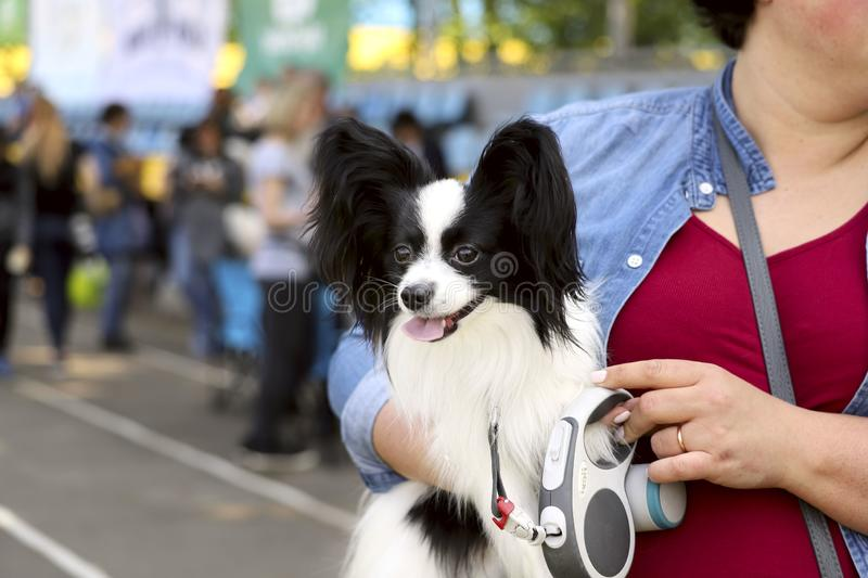 Cute puppy papillon in the hands of a girl. Cropped shot, horizontal, outdoors, place for text, side view. Concept of pets royalty free stock images
