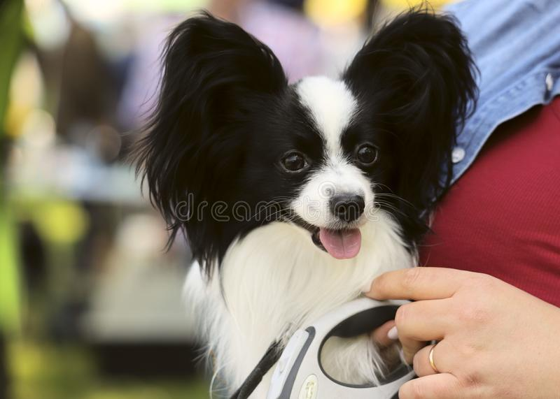 Cute puppy papillon in the hands of a girl. Cropped shot, horizontal, outdoors, place for text, side view. Concept of pets stock photo