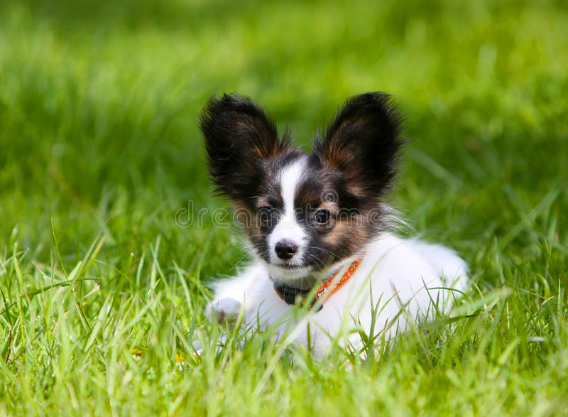 Cute Puppy Papillon lying on green grass. stock image