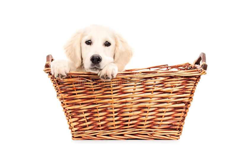 Cute puppy peeking from a basket stock photography
