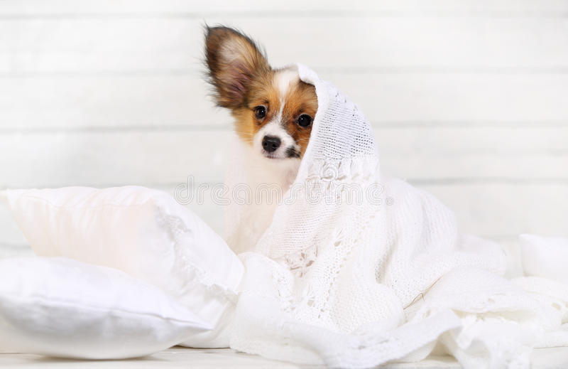 Cute puppy on pillows. Cute puppy Papillon breed lying on pillows stock photography