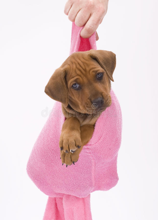 Cute puppy in pink. An adorable Rhodesian Ridgeback puppy hanging in a pink sock