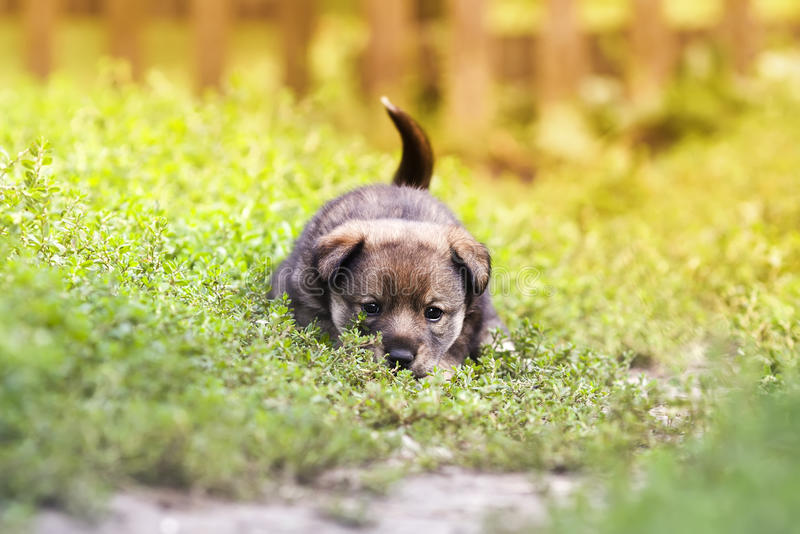 Cute puppy. Play in grass royalty free stock photo