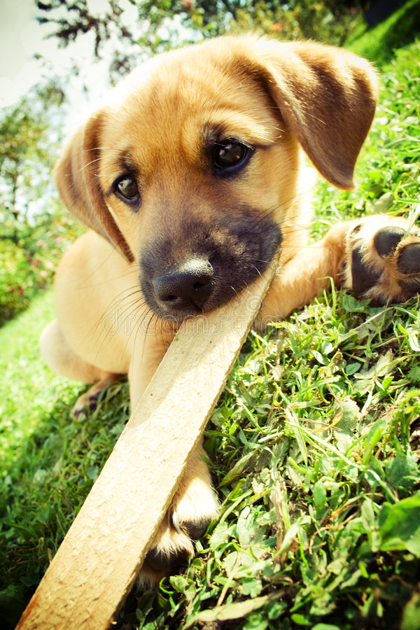 Cute puppy playing on the grass. royalty free stock photography