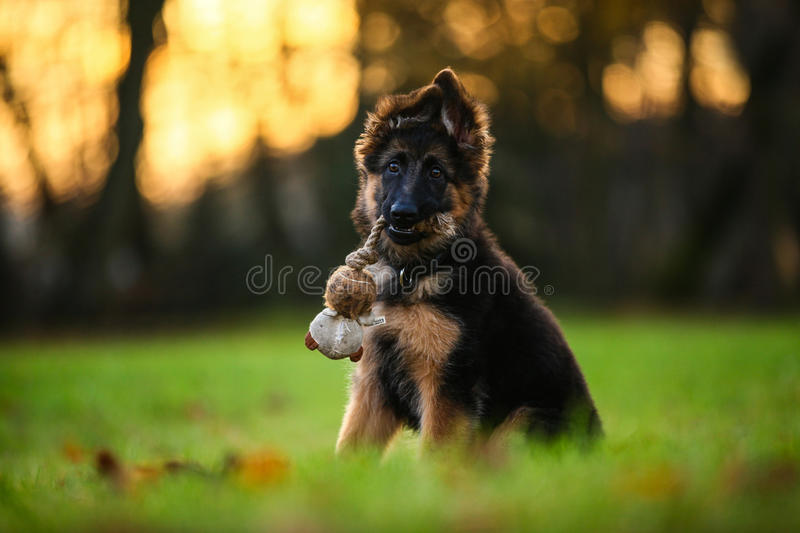 Cute puppy. Cute playing puppy on a walk stock image
