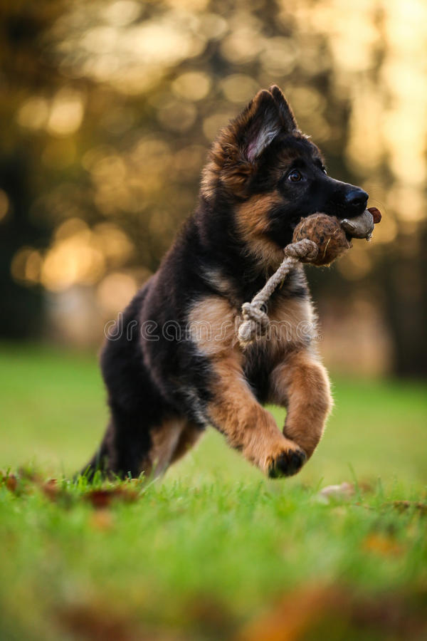 Cute puppy. Cute playing puppy on a walk royalty free stock image