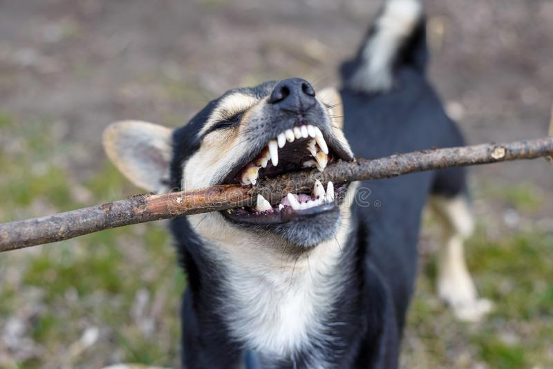 Cute puppy playing with a wooden stick for a walk. Beautiful mongrel. In the countryside animal animals background black childhood closeup dog domestic eyes royalty free stock photography