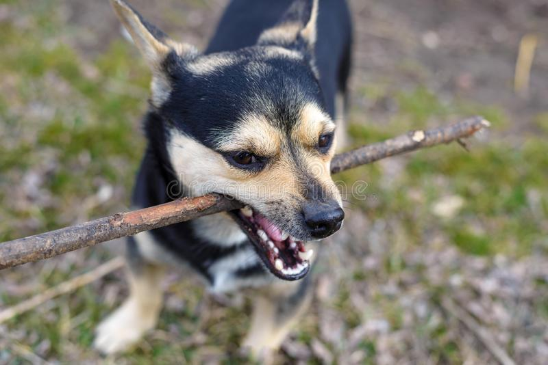 Cute puppy playing with a wooden stick for a walk. Beautiful mongrel. In the countryside animal animals background black childhood closeup dog domestic eyes royalty free stock photos