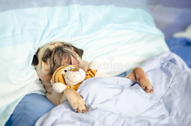 Cute Puppy Pug Dog Sleeping Rest in Bed Wrap with Blanket with Favorite Toy and Tongue Sticking Out royalty free stock photos