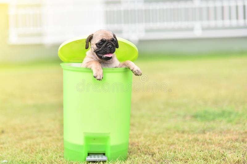 Cute puppy Pug in green bin. Cute puppy brown Pug playing in green bin stock images